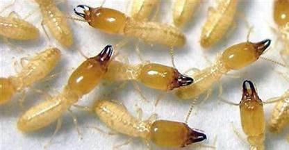 灭白蚁|杀白蚁|防白蚁-虹舟白蚁防治公司